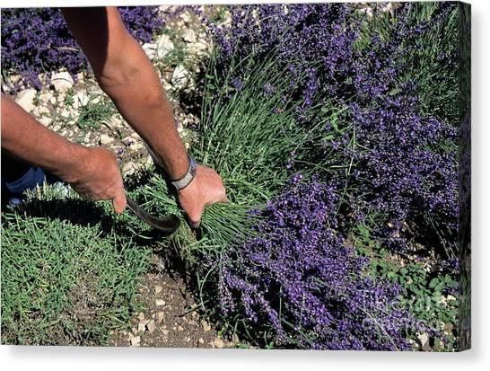 Man Harvesting Lavender Flowers In Field Canvas Print by Sami Sarkis