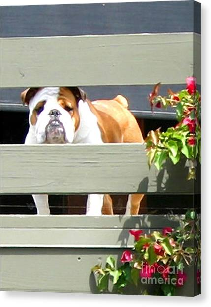 English Bull Dogs Canvas Print - Man Of The House by Barbara Cornelius