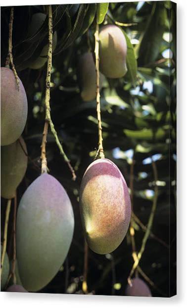 Mango Tree Canvas Print - Mango Fruit by Veronique Leplat