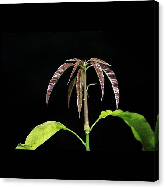 Political Canvas Print - Mango Tree Baby Leaves Shooting Out by Ahmed Oujan