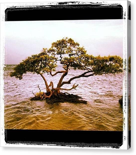 Mangrove Trees Canvas Print - Mangrove (mangle) by Luis Alberto