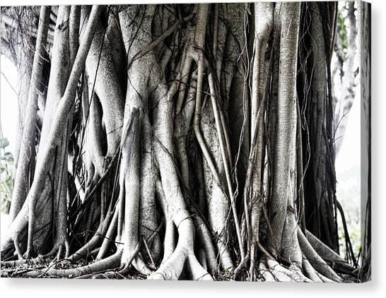 Mangrove Trees Canvas Print - Mangrove Tentacles  by Douglas Barnard