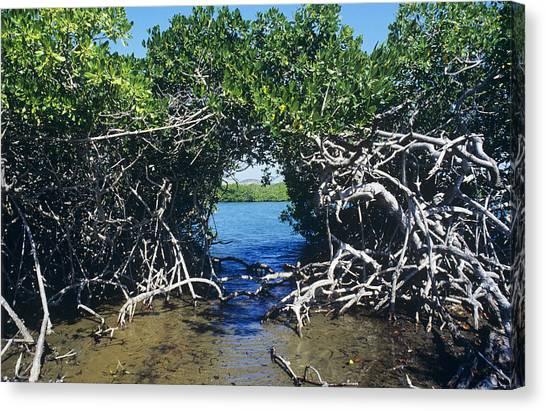 Mangrove Trees Canvas Print - Mangrove Trees by Dirk Wiersma