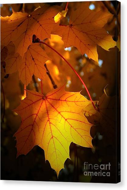 Maple At First Light Canvas Print