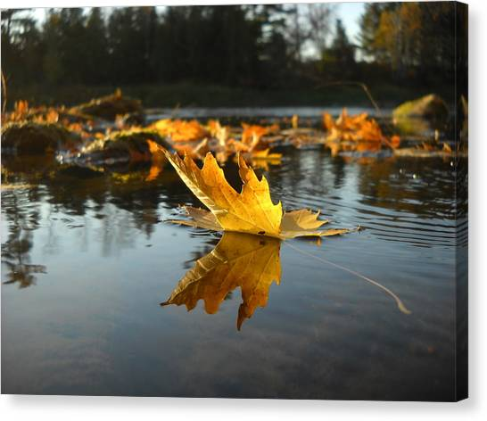 Maple Leaf Floating In River Canvas Print