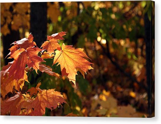 Maple Leaf Glow Canvas Print by James Hammen