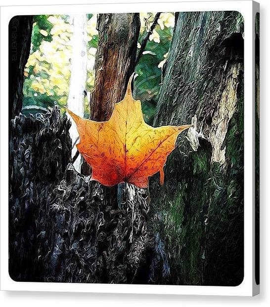 Autumn Leaves Canvas Print - Maple Leaf by Natasha Marco