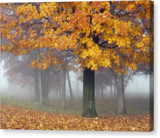 Maples In The Mist Canvas Print