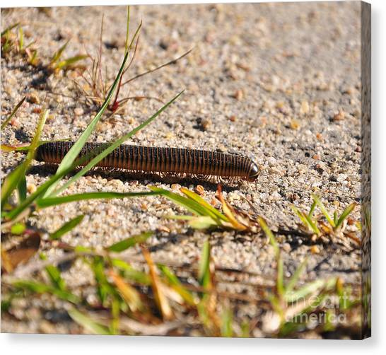 Millipedes Canvas Print - Marching Millipede by Al Powell Photography USA