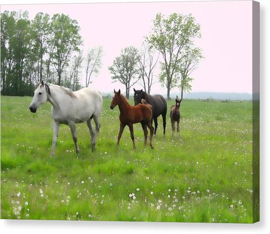 Mares And Foals In Dandelions Canvas Print