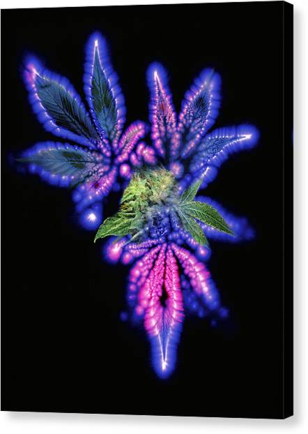 Marijuana Leaf And Bud, Kirlian Artwork Canvas Print by Boothgarion