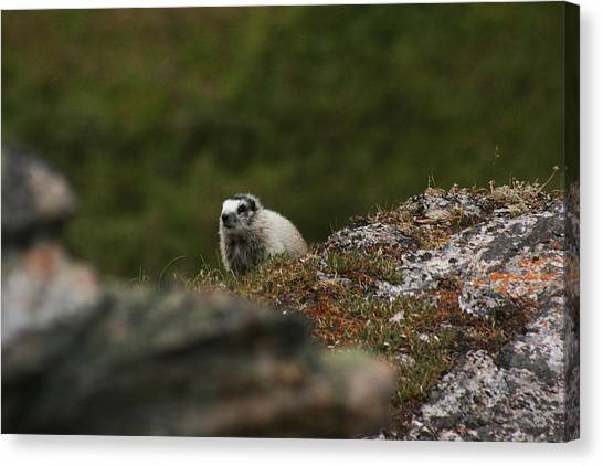 Marmot Denali National Park Canvas Print