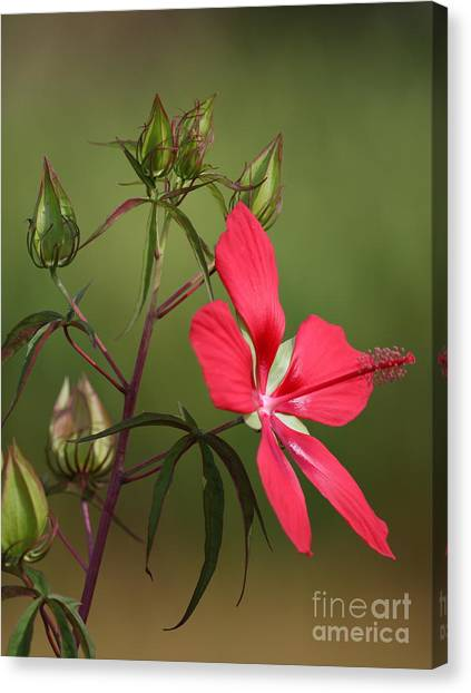 Marsh Hibiscus Canvas Print