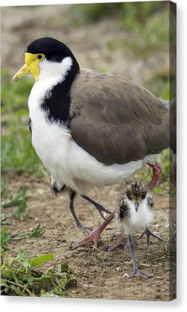 Lapwing Canvas Print - Masked Lapwing And Chick by Tony Camacho