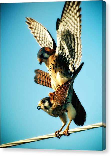 Matting Hawks Canvas Print