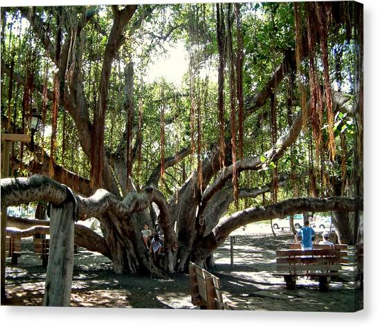 Maui Banyan Tree Park Canvas Print