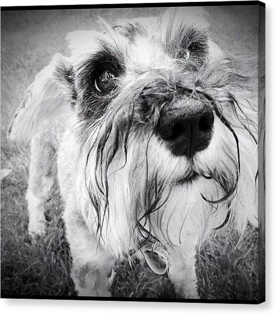 Schnauzers Canvas Print - Me?  Get In Trouble? by Trever Miller