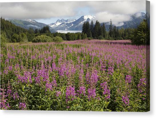 Tongass National Forest Canvas Print - Meadow Of Blooming Fireweed Frames by Melissa Farlow