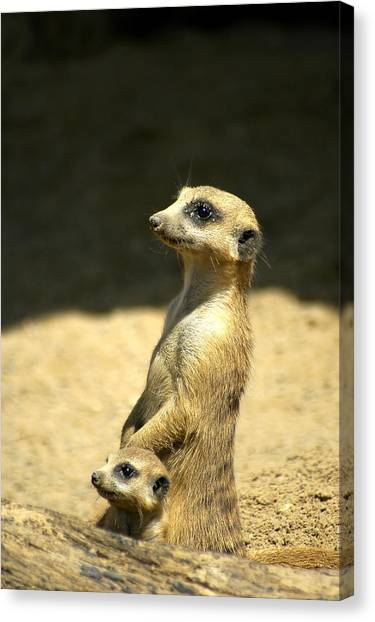 Meerkat Mother And Baby Canvas Print