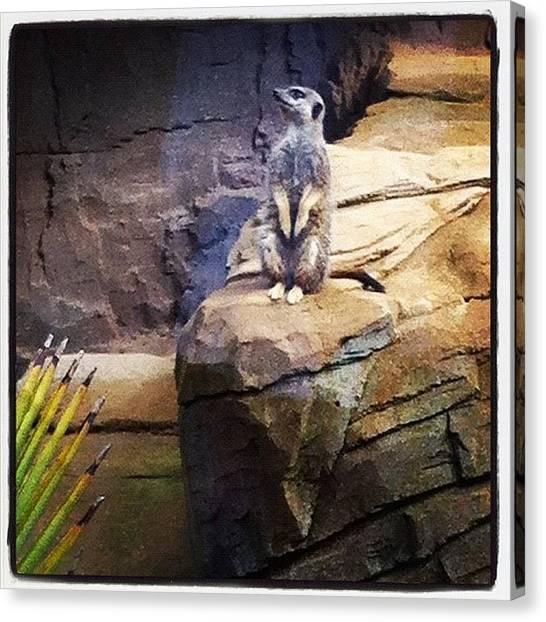 Meerkats Canvas Print - Meerkat by N R