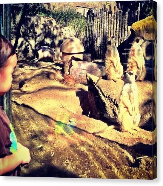 Meerkats Canvas Print - Meerkat Peer | #instagram San Diego Zoo by Tony Macasaet