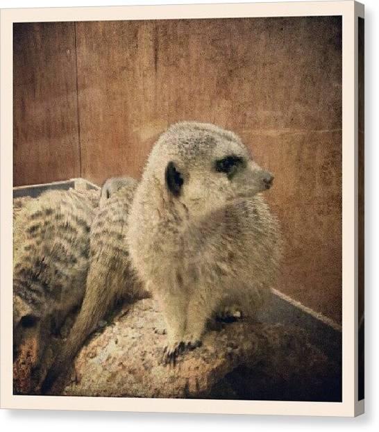 Meerkats Canvas Print - #meerkat #pet #cute #fury #fun #exotic by Stephen Clarridge