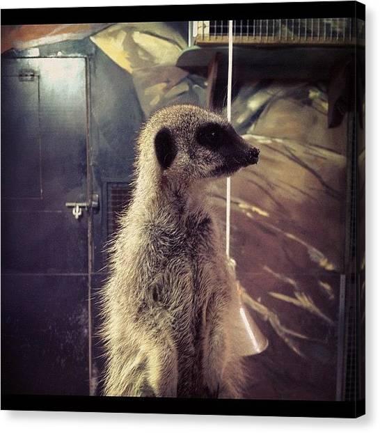 Meerkats Canvas Print - #meerkat #zoo #trip #fun #holiday #cute by Ashley Cornish