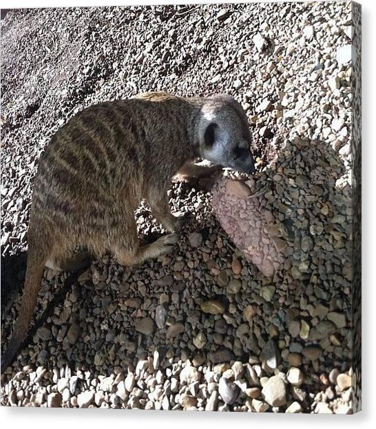 Meerkats Canvas Print - #meerkats #fieldtrip #iphone #zoo by S Smithee