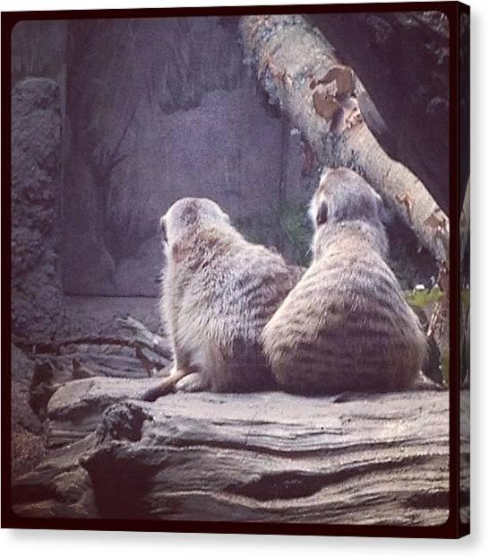 Meerkats Canvas Print - Meerkats. #seattle #woodlandparkzoo by Ashley Brandt