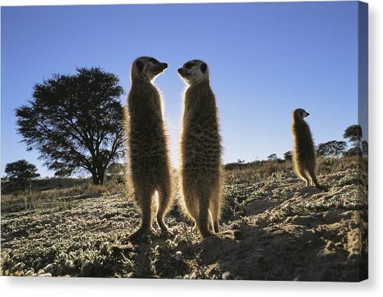 Republic Of South Africa Canvas Print - Meerkats Start Each Day With A Sunbath by Mattias Klum