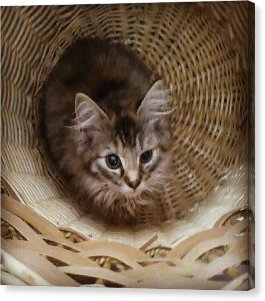 Persians Canvas Print - Midna, Sleeping In My Wash Basket by Courtney Williams