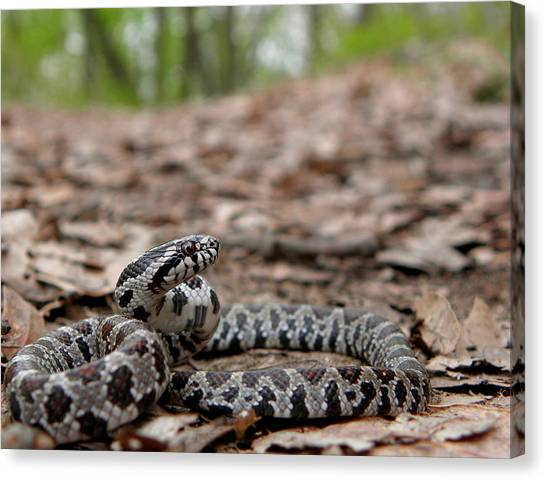 Snake Canvas Print - Milk Snake by Griffin Harris