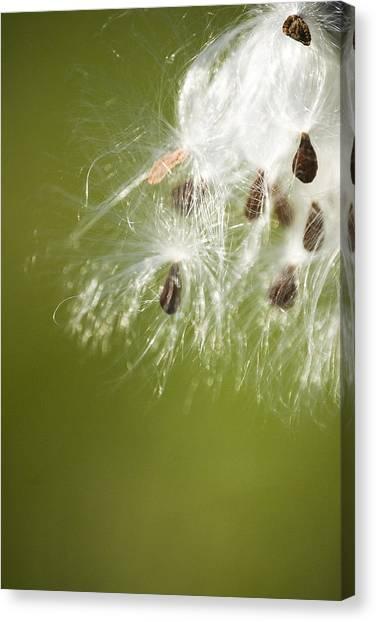 Milk Weed Seed Canvas Print