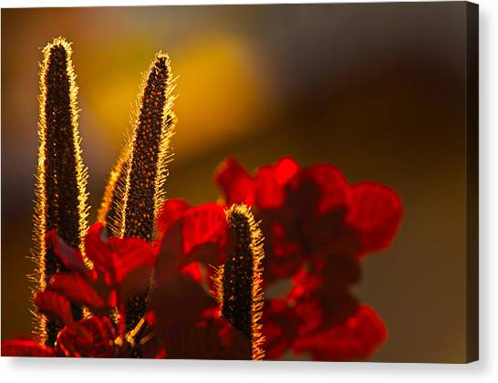 Millet At Sunset Canvas Print