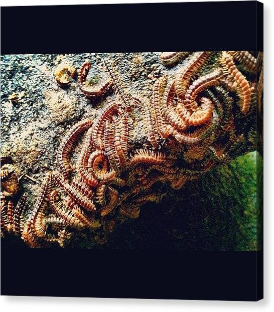 University Of Illinois Canvas Print - Millions Of #millipedes Cling To A #rock by Michelle Behnken