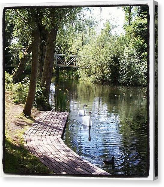 Swans Canvas Print - Milton Country Park, Milton Near by Shelley Walsh