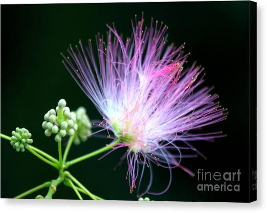 Mimosa Canvas Print - Mimosa Flower by Heinz G Mielke