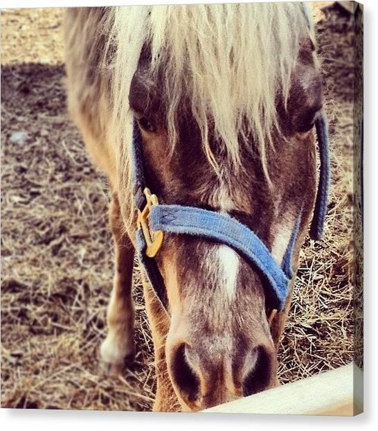 Farm Animals Canvas Print - Mini Pony by Kelly Diamond