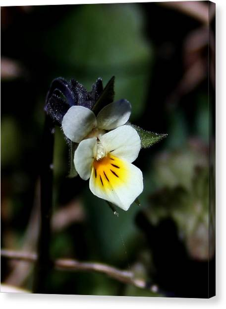 Miniature Pansy2 Canvas Print