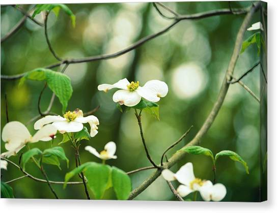 Miracle Of The Dogwood Canvas Print