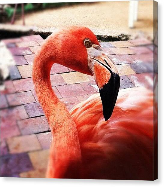Flamingos Canvas Print - Mirada #instawesome #igersvenezuela by Jose Mata