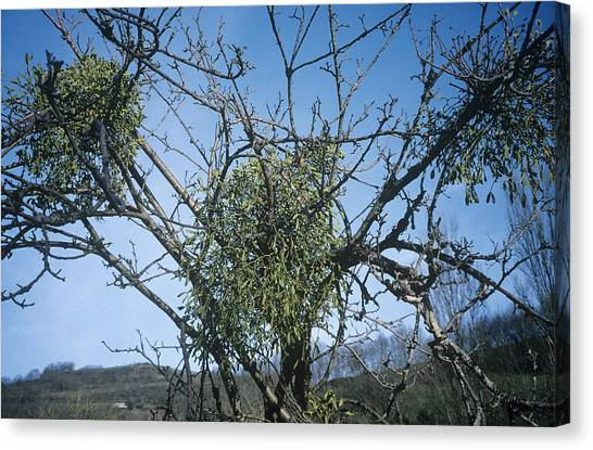 Mistletoe On A Tree Canvas Print by Archie Young