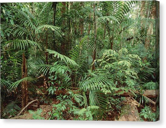 Interior Lowlands Canvas Print   Mixed Lowland Dipterocarp Tropical By  Gerry Ellis