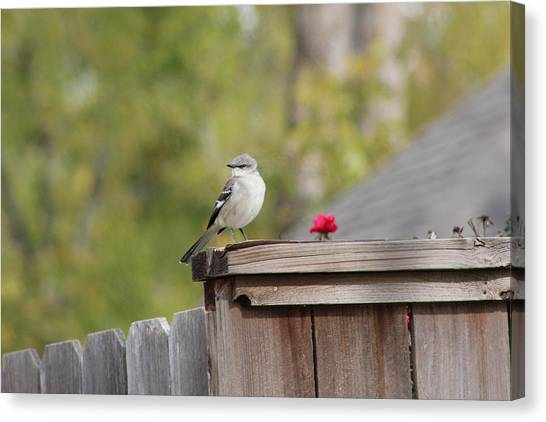 Mockinbird And Red Rose Canvas Print by Alain roger  Fotso dada