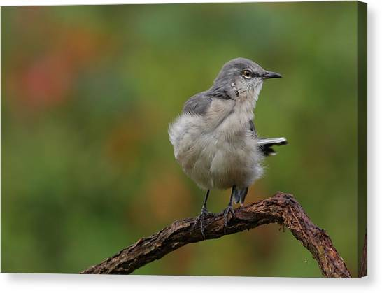 Mocking Bird Perched In The Wind Canvas Print
