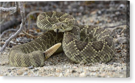 Poisonous Snakes Canvas Print - Mojave Green Rattlesnake  by Bob Christopher