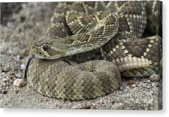 Poisonous Snakes Canvas Print - Mojave Green Rattlesnake Close Up And Personal by Bob Christopher