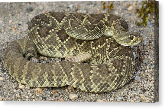 Poisonous Snakes Canvas Print - Mojave Green Rattlesnake Kelso Dunes by Bob Christopher