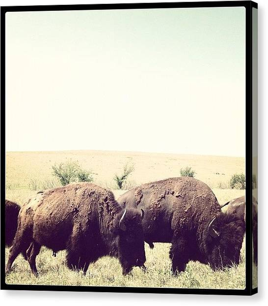 Large Birds Canvas Print - Molting Buffalo by Marc Crow