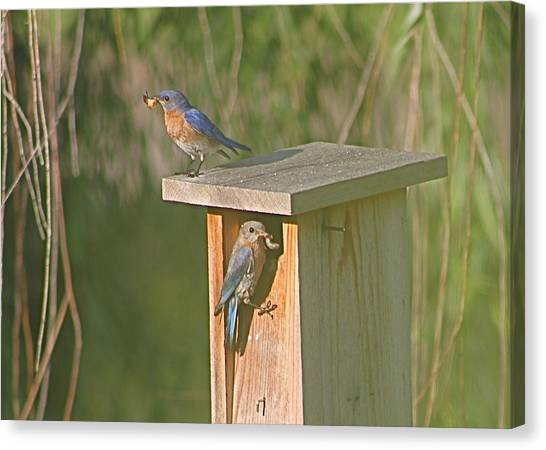 Mom And Dad Bluebird Bringing Home Lunch Canvas Print